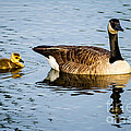 Canada Goose And Gosling by Dawna Moore Photography