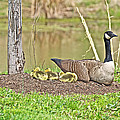 Canada Goose And Goslings by Mother Nature