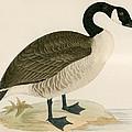 Canada Goose by Beverley R Morris
