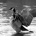 Canada Goose Black And White by Sharon Talson