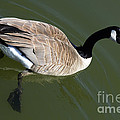 Canada Goose by Bob Christopher