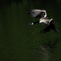Canada Goose In Flight by Karol Livote