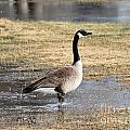 Canada Goose by Lori Tordsen