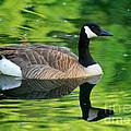 Canada Goose On Green Pond by Karen Adams