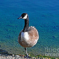 Canada Goose On One Leg by Susan Wiedmann
