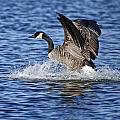 Canada Goose Pictures 111 by World Wildlife Photography
