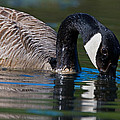 Canada Goose by Randall Ingalls
