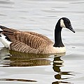 Canada Goose Reflecting In Calm Waters by Richard Bryce and Family