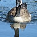 Canada Goose Reflecting by Nicki Bennett