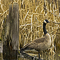 Canada Goose  by Rob Mclean
