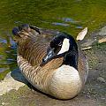 Canada Goose Sitting Pretty by Denise Mazzocco