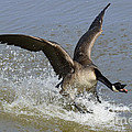 Canada Goose Touchdown by Bob Christopher