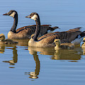 Canada Goose With Chicks by Tom Norring