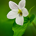 Canada Violet Macro by Photography  By Sai