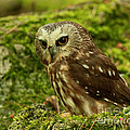 Canada's Smallest Owl - Saw Whet Owl by Inspired Nature Photography Fine Art Photography