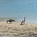 Canadian Geese 2 by Scenic Sights By Tara