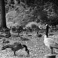 Canadian Geese by Bob Pardue
