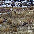 Canadian Geese In Flight by Mike  Dawson