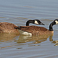 Canadian Geese Mates by Tom Janca