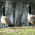 Canadian Geese On Spaulding Pond by Geoffrey McLean