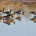 Canadian Geese Stop Over by Tom Janca