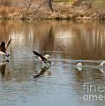 Canadian Geese Takeoff by Carol Groenen
