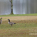Canadian Geese Tourists by Joseph Baril