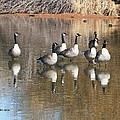 Canadian Geese Watching by Tom Janca
