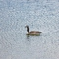 Canadian Goose 2 by Scenic Sights By Tara