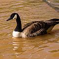 Canadian Goose In On Golden Pond by Douglas Barnett