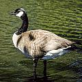 Canadian Goose by Irene  Theriau
