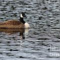 Canadian Goose by Kenny Glotfelty