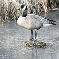 Canadian Goose Standing On A Bog In A Swamp. by Keith Bell