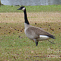 Canadian Goose Strut by Joseph Baril