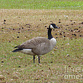 Canadian Goose Strutting  by Joseph Baril