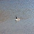 Canadian Goose by Scenic Sights By Tara