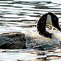 Canadian Goose Wash by Nicki Bennett
