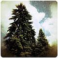 Canadian Pines by Natasha Marco