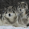 Canadian Timber Wolves by Rudy Pohl