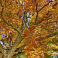 Canadian Tree 2012 by Deborah Benoit