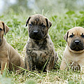 Canary Dog Puppies by Jean-Michel Labat