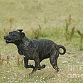 Canary Dog Running by Jean-Michel Labat