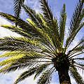 Canary Island Date Palm by Zina Stromberg