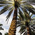 Canary Island Date Palms by Zina Stromberg