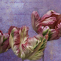 Cancan Parrot Tulips by Diane Schuster