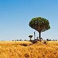 Candelabra Trees by Adam Romanowicz