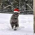 Cane Corso Christmas by Fran J Scott