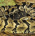 Canebrake Rattlesnake by Millard H. Sharp