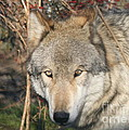 Canis Lupus  by Neal Eslinger
