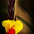 Canna Lily 2 by Guy Shultz